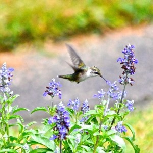 Hummingbird feeding on AgastacheVanWilliams2